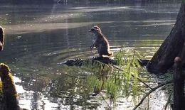 """Kinh ngạc cảnh cá sấu """"cõng"""" gấu mèo vượt sông"""