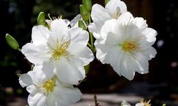 Thuốc hay từ các loài hoa
