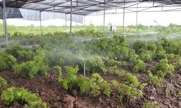 Nỗ lực phát triển bền vững vùng trồng Đinh lăng dược liệu tại Việt Nam