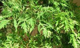 Mang thai, uống nước rễ cây đinh lăng có được không?