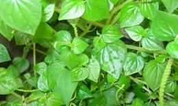 Bật mí tác dụng của rau càng cua và bí mật trong rau càng cua