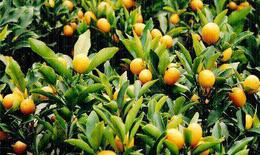 Quất - Cây cảnh đẹp, cây thuốc quý