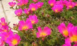 Hoa mười giờ chữa bỏng nhẹ