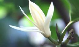 Hoa ngọc lan - Cây cảnh làm thuốc