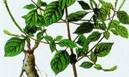 Rễ cỏ xước lợi tiểu, tiêu viêm