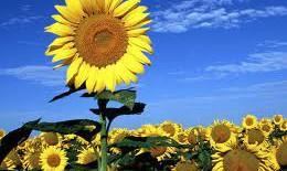 Hoa hướng dương: món ăn - bài thuốc vào dịp Tết