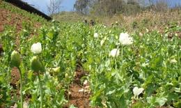Nguy cơ từ việc tái trồng cây thuốc phiện trên diện rộng