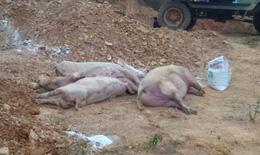 Quảng Bình: Dịch tả lợn châu Phi lan rộng