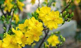 Chữa ho bằng hoa