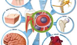 Liệu pháp tế bào gốc: Triển vọng và thách thức