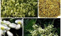 Hoa hòe trị bệnh trĩ
