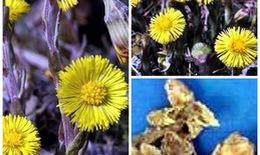 Các bài thuốc trị ho từ hoa