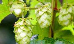 Hoa bia và những khám phá trong điều chế thuốc chữa bệnh