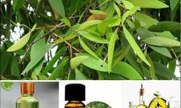 Cách dùng tinh dầu tràm sát khuẩn, tiêu viêm