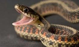 Bị rắn cắn – làm sao để biết rắn có độc hay không?