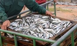 Quảng Trị làm rõ thông tin xung quanh vụ cá nhiễm phenol