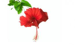 Hoa dâm bụt có tác dụng hạ huyết áp