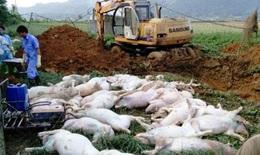60 tỉnh xuất hiện dịch tả lợn châu Phi, 2,8 triệu con lợn bị tiêu hủy