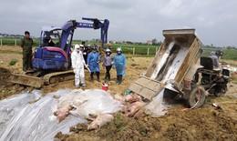 Hà Nội: dịch tả lợn châu Phi tiếp tục giảm