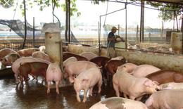 Sau một thời gian tạm lắng, dịch tả lợn châu Phi ở Hà Nội  tăng trở lại
