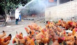Kiểm soát chặt dịch cúm gia cầm,không để dịch bệnh lây lan diện rộng