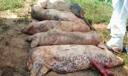 Dịch tả lợn châu Phi đã xuất hiện tại Đồng Nai