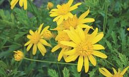 Hoa cúc chống oxy hóa, kháng khuẩn