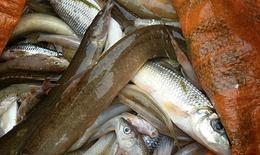 Cá chết hàng loạt trên sông Âm do nguồn nước ô nhiễm