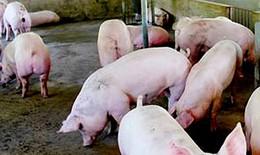 Tăng cường kiểm soát tại các đầu mối giao thông để phòng chống dịch tả lợn Châu Phi