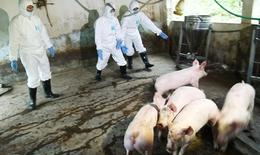 Hà Nội: Tiêu hủy hơn 61.000 con lợn nái mắc dịch tả lợn châu Phi, dịch vẫn lây lan nhanh