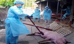 Hà Nội: Tiêu hủy gần 10.000 con lợn bệnh mỗi ngày, thanh tra việc phòng chống dịch tả lợn Châu Phi