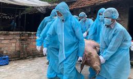Dịch tả lợn Châu Phi tiếp tục lan rộng tại Hà Nội, tiêu huỷ gần 66.000 con