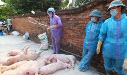 Hà Nội: Dịch tả lợn châu Phi tiếp tục phát sinh tại 164 hộ, cơ sở chăn nuôi lợn