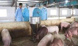 Hà Nội tiếp tục tăng cường các biện pháp kỹ thuật phòng, chống dịch tả lợn Châu Phi