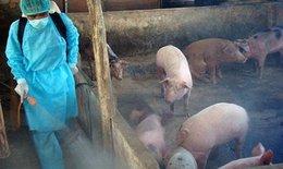 Hà Nội: Dịch tả lợn Châu Phi vẫn phức tạp, đã tiêu hủy hơn 500 nghìn con