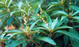 Kháng sinh thực vật giúp điều trị viêm nhiễm phụ khoa
