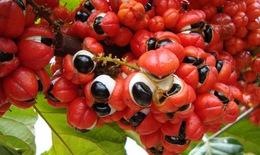 """Ứng dụng thực phẩm """"tiêu hủy mỡ"""" Guarana hỗ trợ giảm cân"""