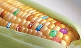 Những hiểu lầm về thực phẩm biến đổi gen