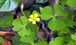 8 loại cây cỏ trong vườn nhà trị viêm họng