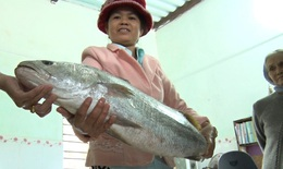 Ngư dân bắt được cá lạ nghi cá sủ vàng