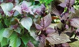 Lá tía tô - Một loại rau gia vị hàng ngày có tiềm năng trong phòng chống SARS-CoV-2