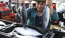 Cá bạc lại đầy khoang sau dịch COVID -19