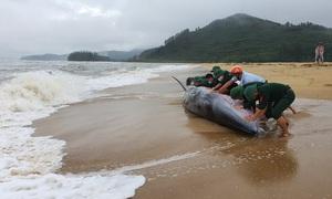 Cá voi dài 10m bị sóng đánh tấp vào bờ biển, sức khoẻ yếu ớt