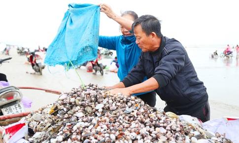 Ngư dân Hà Tĩnh hứng 'mưa sò huyết' sau bão số 8