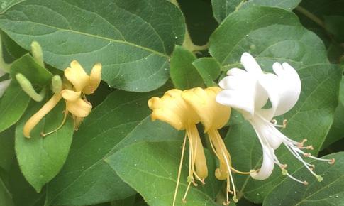 Hoa đẹp kim ngân, nhiều tác dụng tốt cho sức khỏe