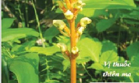 Thiên ma trị phong thấp, hoa mắt chóng mặt
