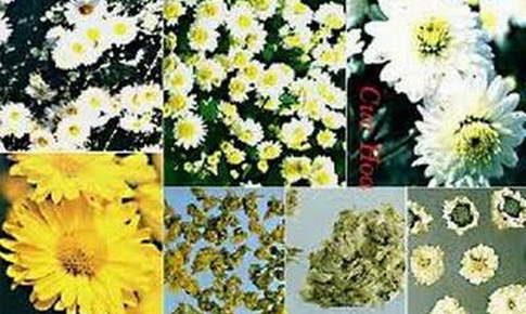 Hoa cúc: Kháng khuẩn, tiêu viêm