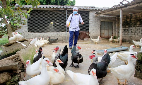 Hơn 100.000 con gia cầm bị tiêu hủy, cảnh báo cúm gia cầm và các chủng vi rút lây sang người