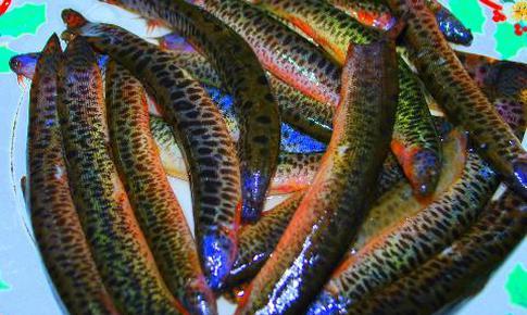 Cá chạch hạ men gan, trị thiếu máu